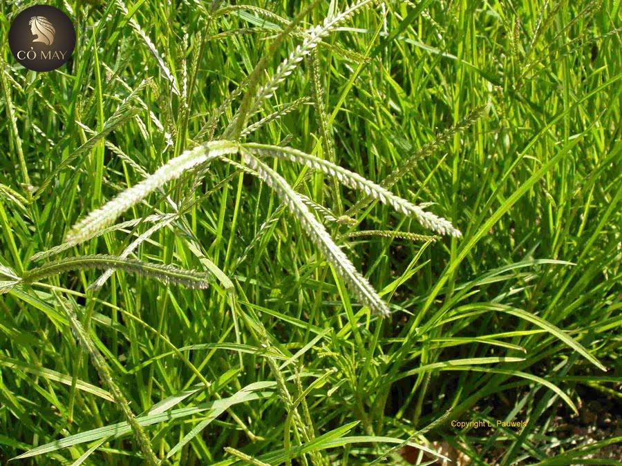 điều trị rụng tóc bằng cỏ mần trầu