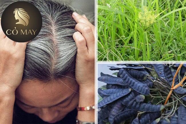 Chữa tóc bạc sớm từ cỏ mực sẽ giúp bạn giải quyết tình trạng này.